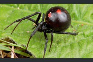 Menor de edad es atacado por una araña